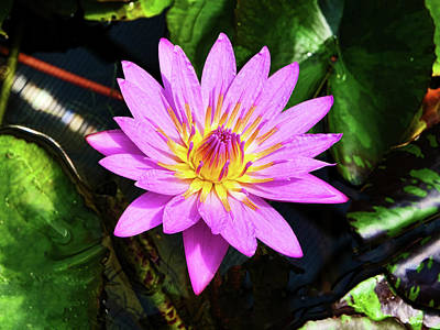 Aloha For Days - Water Lily 48 by Allen Beatty