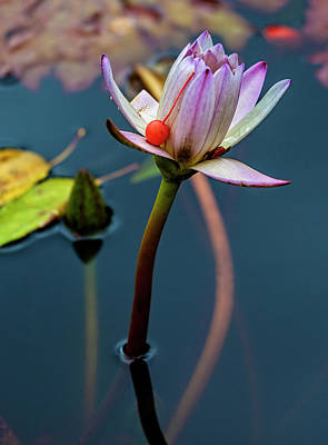 Photograph - Water Lily And Berry by Robert Ullmann