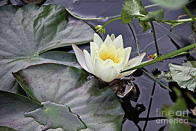 Photograph - Water Lily Bloom by Jolanta Anna Karolska