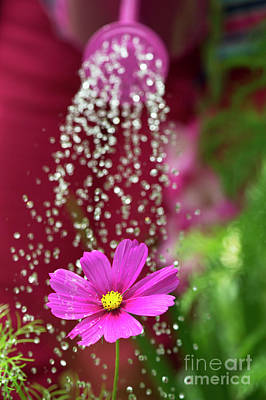 Photograph -  Watering A Cosmos Flower by Tim Gainey