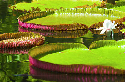 Photograph - Waterlily Pads, Pamplemousses Gardens by Jean-pierre Pieuchot