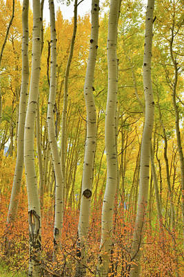 Photograph - Wavy Colorful Aspens Along Last Dollar Road by Ray Mathis
