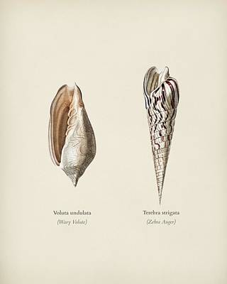 Painting - Wavy Volute  Voluta Undulata And Zebra Auger  Terebra Strigata  Illustrated By Charles Dessalines D by Celestial Images