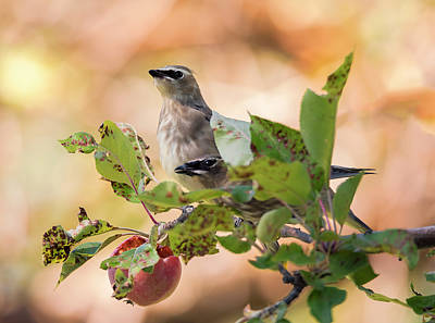 Photograph - Waxwings Sharing by Loree Johnson