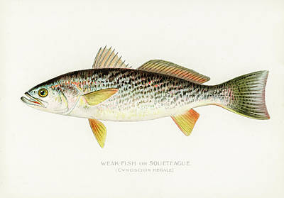 Animals Drawings - Weak Fish by David Letts