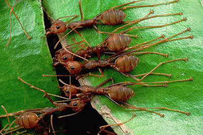 Ant Photograph - Weaver Ants Or Tailor Ants Oecophylla by Mark Moffett/ Minden Pictures
