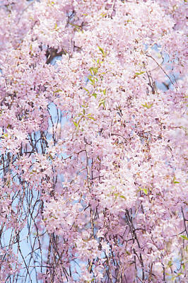 Photograph - Weeping Higan Cherry 1 by Jenny Rainbow