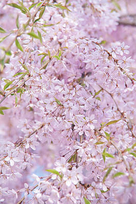 Photograph - Weeping Higan Cherry 2 by Jenny Rainbow