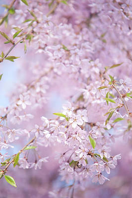 Photograph - Weeping Higan Cherry 3 by Jenny Rainbow