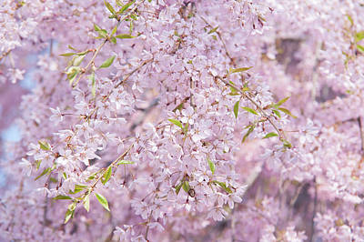 Photograph - Weeping Higan Cherry by Jenny Rainbow