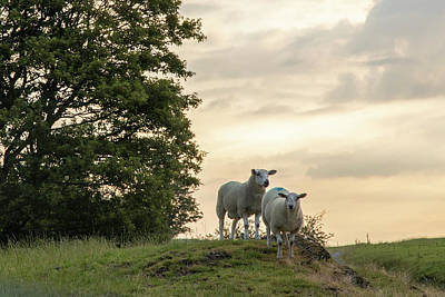 Photograph - Welsh Sheep At Sunrise by John McGraw