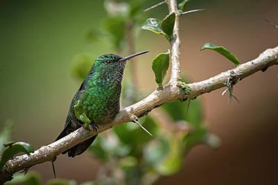 Photograph - Western Emerald Hummingbird Jardin Botanico Del Quindio Calarca  by Adam Rainoff