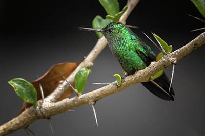 Photograph - Western Emerald Hummingbird Jardin Botanico Del Quindio Calarca Colombia by Adam Rainoff