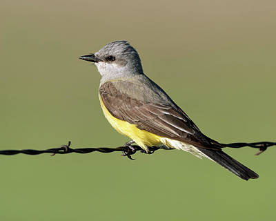 1-war Is Hell Royalty Free Images - Western Kingbird on Barb Wire Royalty-Free Image by Gary Langley
