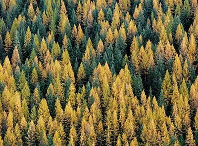 Autumn Wall Art - Photograph - Western Larch Forest by Leland D Howard