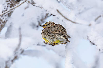 Wild Weather - Western Meadowlark Weathers the Cold by Tony Hake