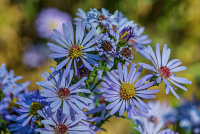 Photograph - Western Mountain Aster by Matthew Irvin