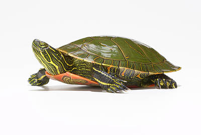 Painted Turtle Wall Art - Photograph - Western Painted Turtle Chrysemys Picta by Don Farrall