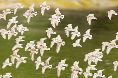 Photograph - Western Sandpipers In Flight, Great by Ian Mcallister