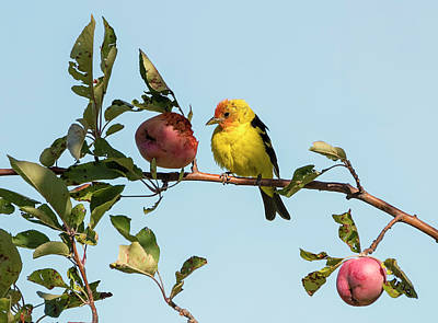 Photograph - Western Tanager In The Crabapples by Loree Johnson