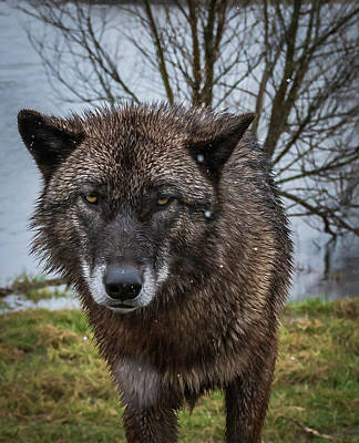 Photograph - Wet Wolf by Laura Hedien