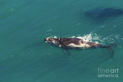 Photograph - Whale Aerial View by Benny Marty