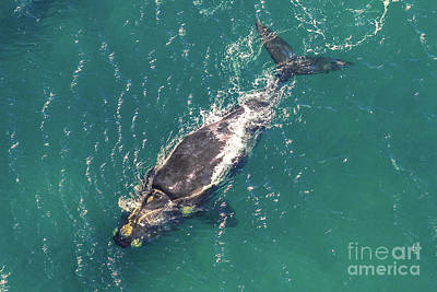 Photograph - Whale In South Africa by Benny Marty