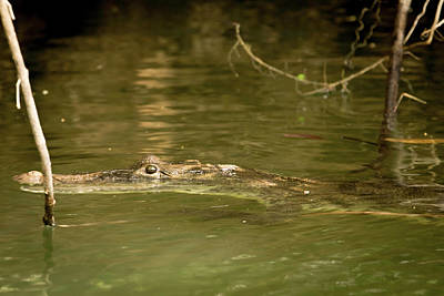 Photograph - What A Croc by Max Huber