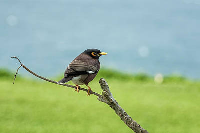 Photograph - What's Common About A Common Myna by Belinda Greb