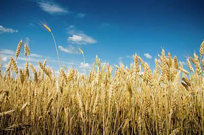 Photograph - Wheat by Muhla1