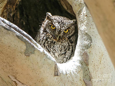 Photograph - Whiskered Screech-Owl in Sycamore by Lyndie Mason Warner