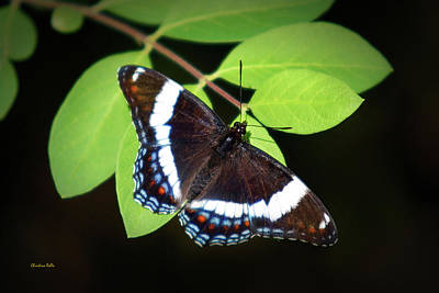Photograph - White Admiral Butterfly by Christina Rollo