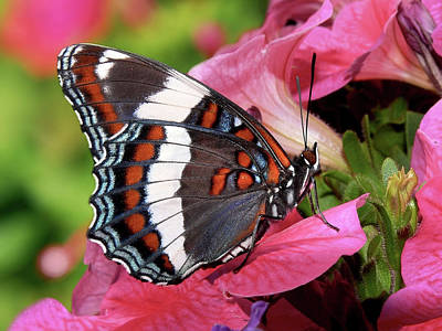 Photograph - White Admiral Butterfly On Pink Flowers by Christina Rollo