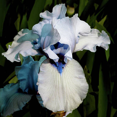 Photograph - White And Blue Iris by David Patterson