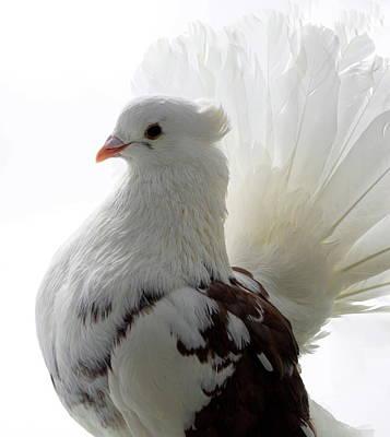 a8e88d59d607 Fantail Pigeon Art