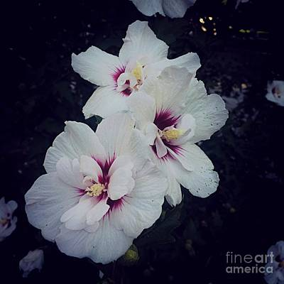 Frank J Casella Royalty-Free and Rights-Managed Images - Flowers - White and Pink Hibiscus - Square by Frank J Casella
