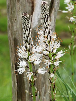 Photograph - White Asphodel  by Phil Banks