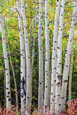 Photograph - White Bark Golden Forest by James BO Insogna