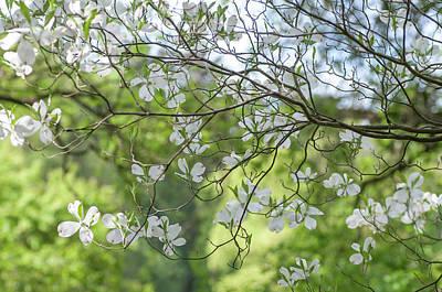 Photograph - White Bloom Of Dogwood Tree by Jenny Rainbow