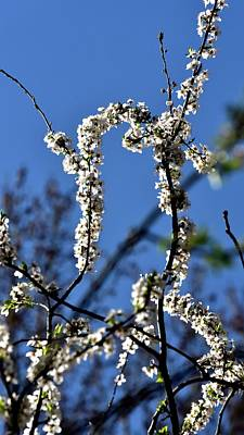Photograph - White Blossoms Blue Sky by Jerry Sodorff