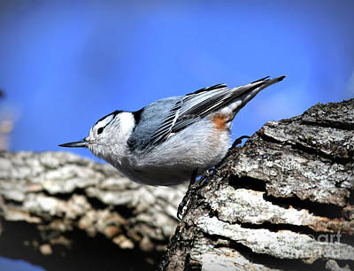 Photograph - White-breasted Nuthatch - Claytor Lake State Park by Kerri Farley