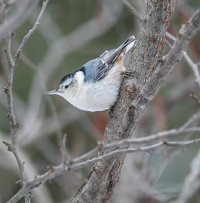 Photograph - White Breasted Nuthatch by Dan Sproul