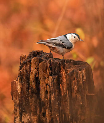 Photograph - White Breasted Nuthatch In Autumn by Dan Sproul