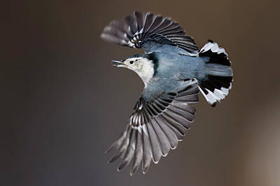 Photograph - White-breasted Nuthatch In Flight by Mircea Costina Photography
