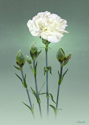 Digital Art - White Carnation by Spadecaller