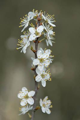 Photograph - White Cherry Blossom Flowers by Scott Lyons