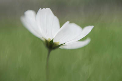 Wall Art - Photograph - White Cosmos by Stacy Honda