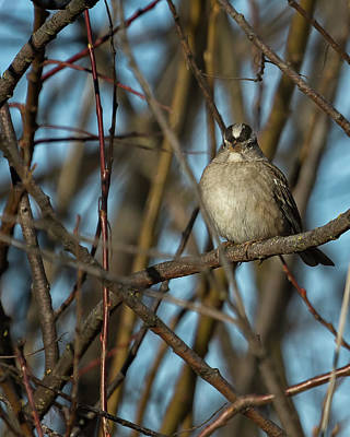 Photograph - White-crowned Sparrow, No. 1 by Belinda Greb