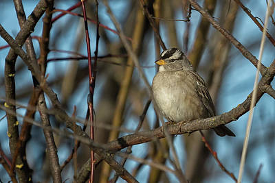 Photograph - White-crowned Sparrow, No. 2 by Belinda Greb