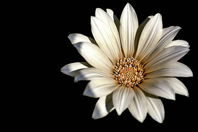 Photograph - White Daisy On Black by Alison Frank